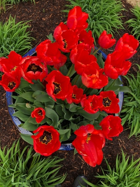 DTP Tulips spring 2019